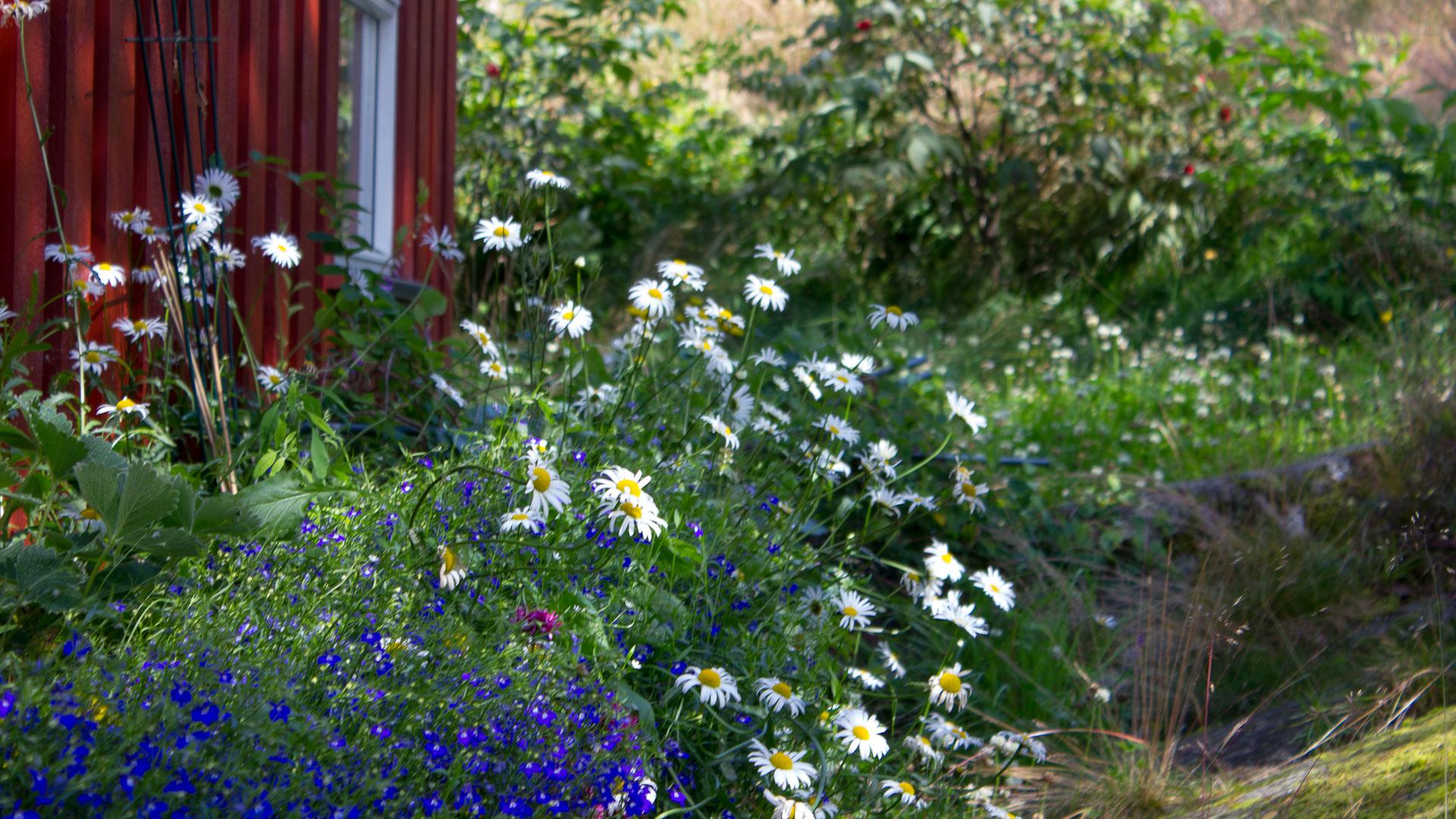 Norwegian daisies