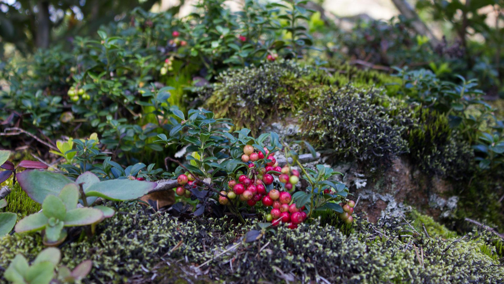 Norwegian cranberries